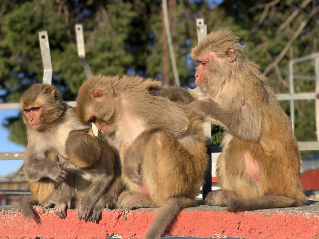 Rishikesh - Monkeys